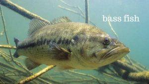 smallmouth bass freshwater fish