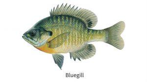 Bluegill freshwater fish